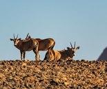 Gathering of Oryx
