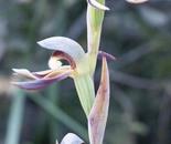 Rattling Beak Orchid