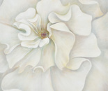 Great white rose 1