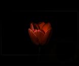 Fire tulip in the dark