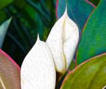 Aglaonema Blooms