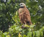 Brown Collared Hawk