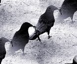 The walk of the Crows