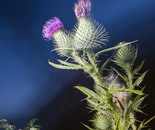 Thistle in the Sea