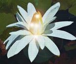 White Waterlilly