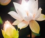 White Glowing Lotus