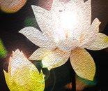 White Lotus O1