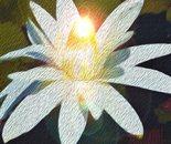 White Waterlilly O1