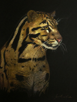 Clouded Leopard Study