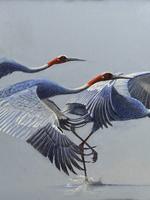 Flight of Fancy. Sarus Cranes