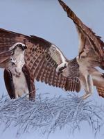 Just Testing. Osprey Juveniles