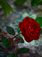 Witches rose