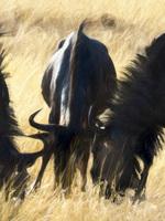 The Wilder-beasts