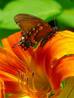 Butterfly & Lily