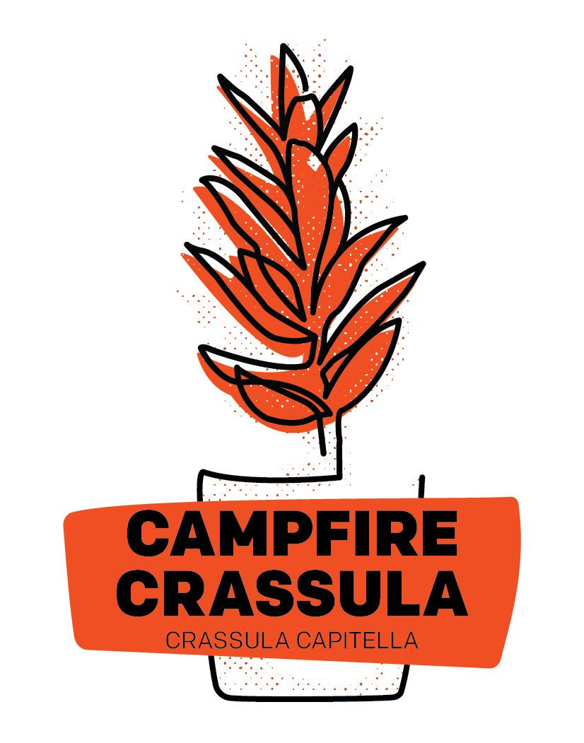 Campfire Crassula
