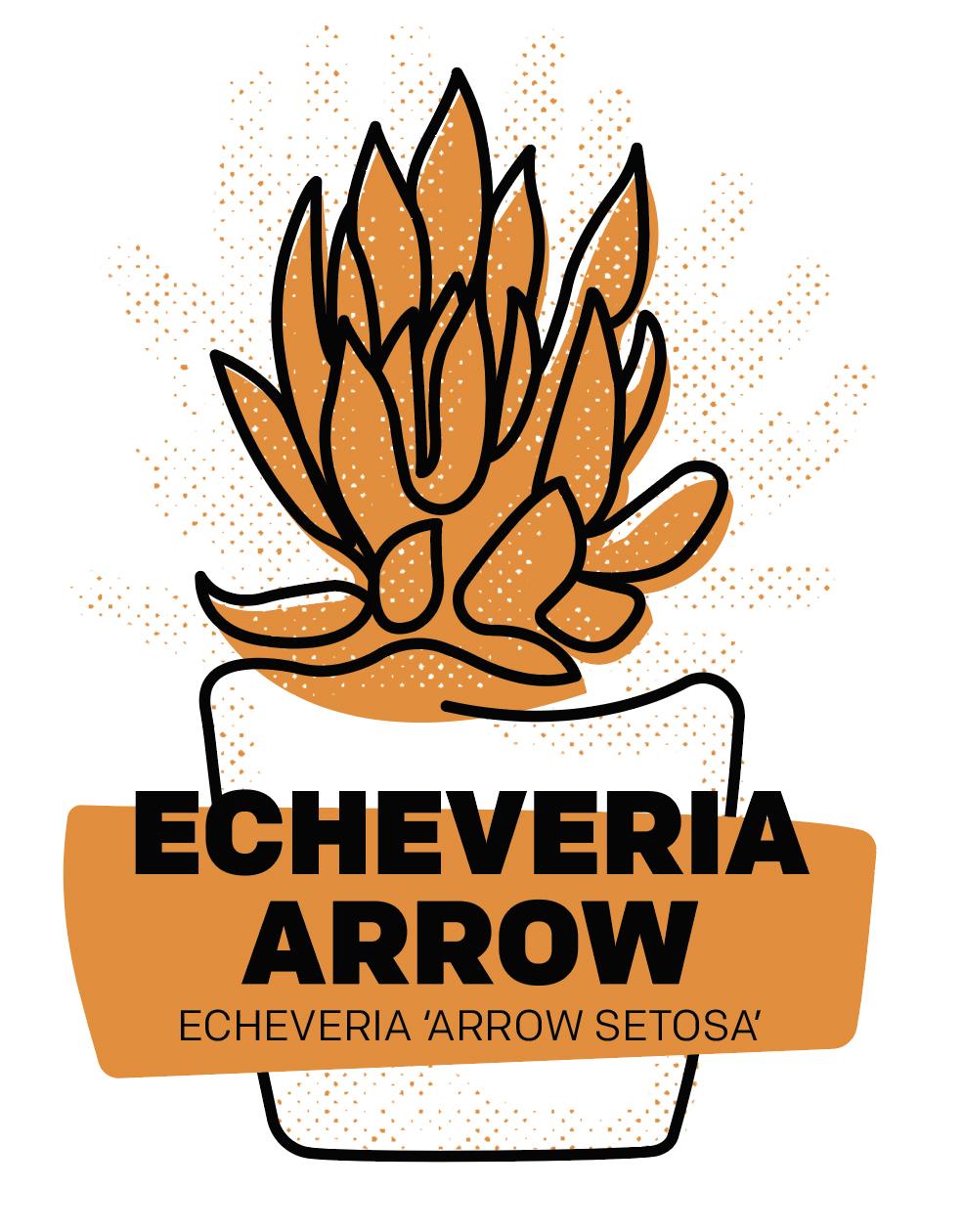 Echeveria Arrow