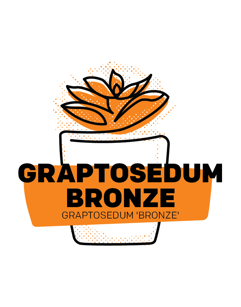 Graptosedum Bronze