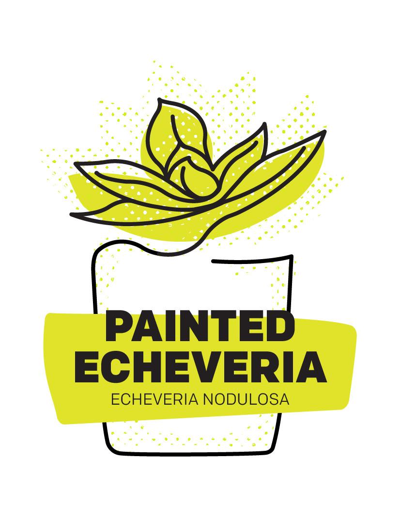 Painted Echeveria