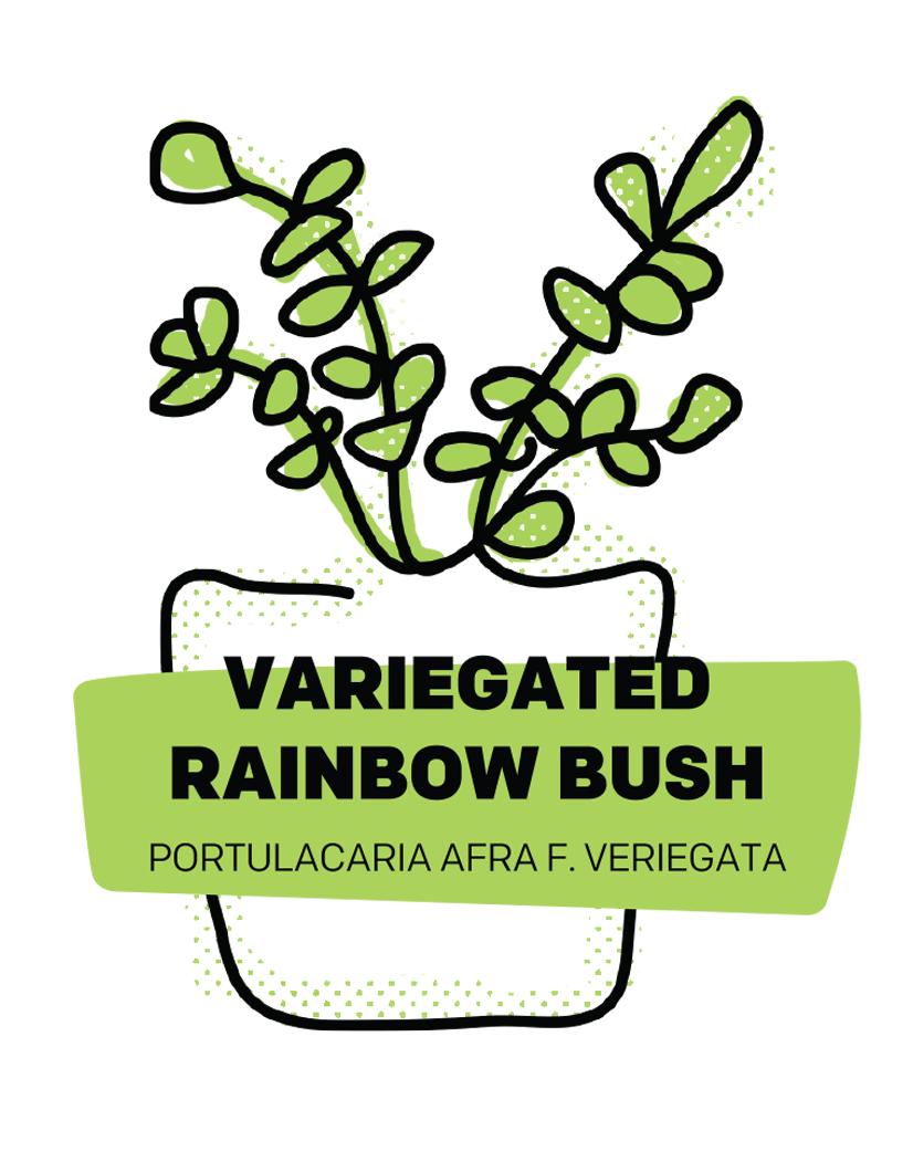Rainbow Bush