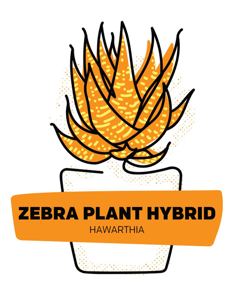 Zebra Plant Hybrid