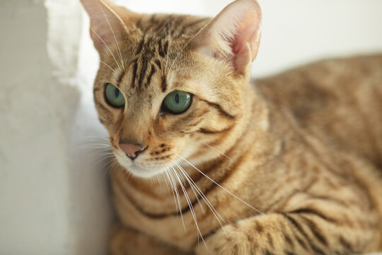 a Serengeti cat is a vocal and active kitty that likes to be constantly entertained by toys and views