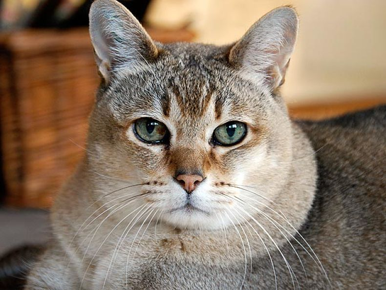 another active cat breed, the Chausie, like to socialize with humans