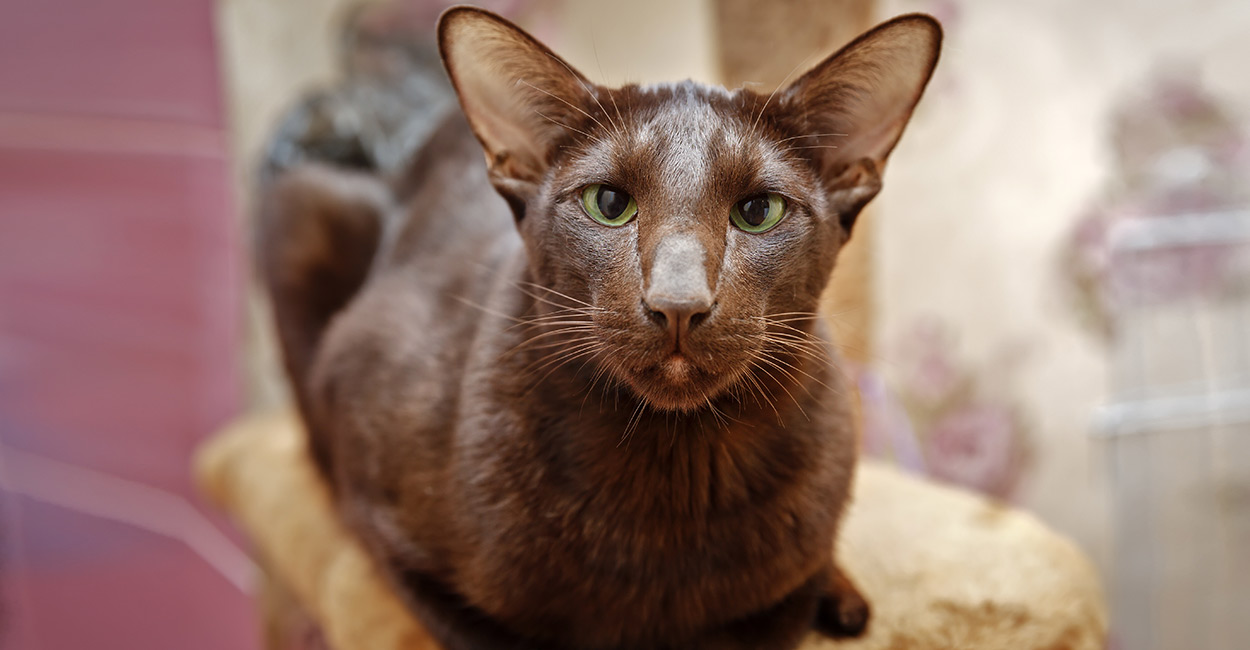 Havana Brown cats are lively, active and playful felines who are homebodies and love spending time with the family