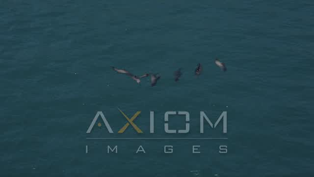 Tracking seven seals in the Pacific Ocean, Malibu, California Aerial Stock Footage | AX42_090