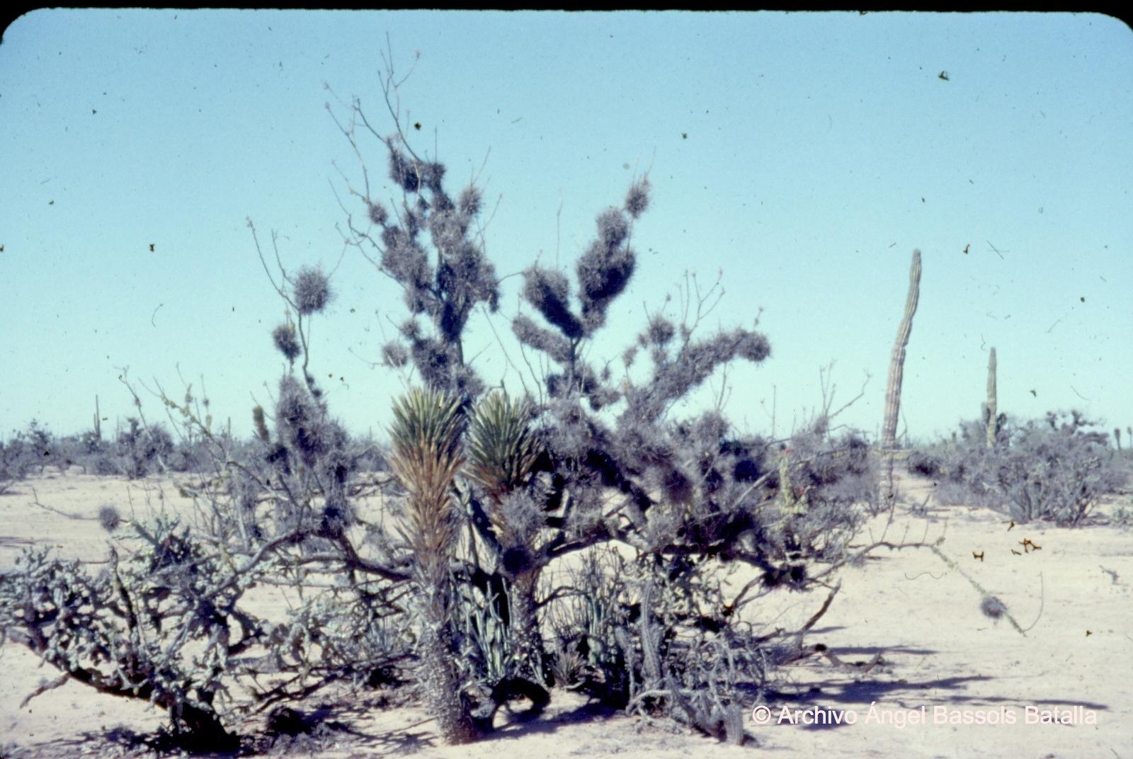 Flora en el desierto Vizcaíno