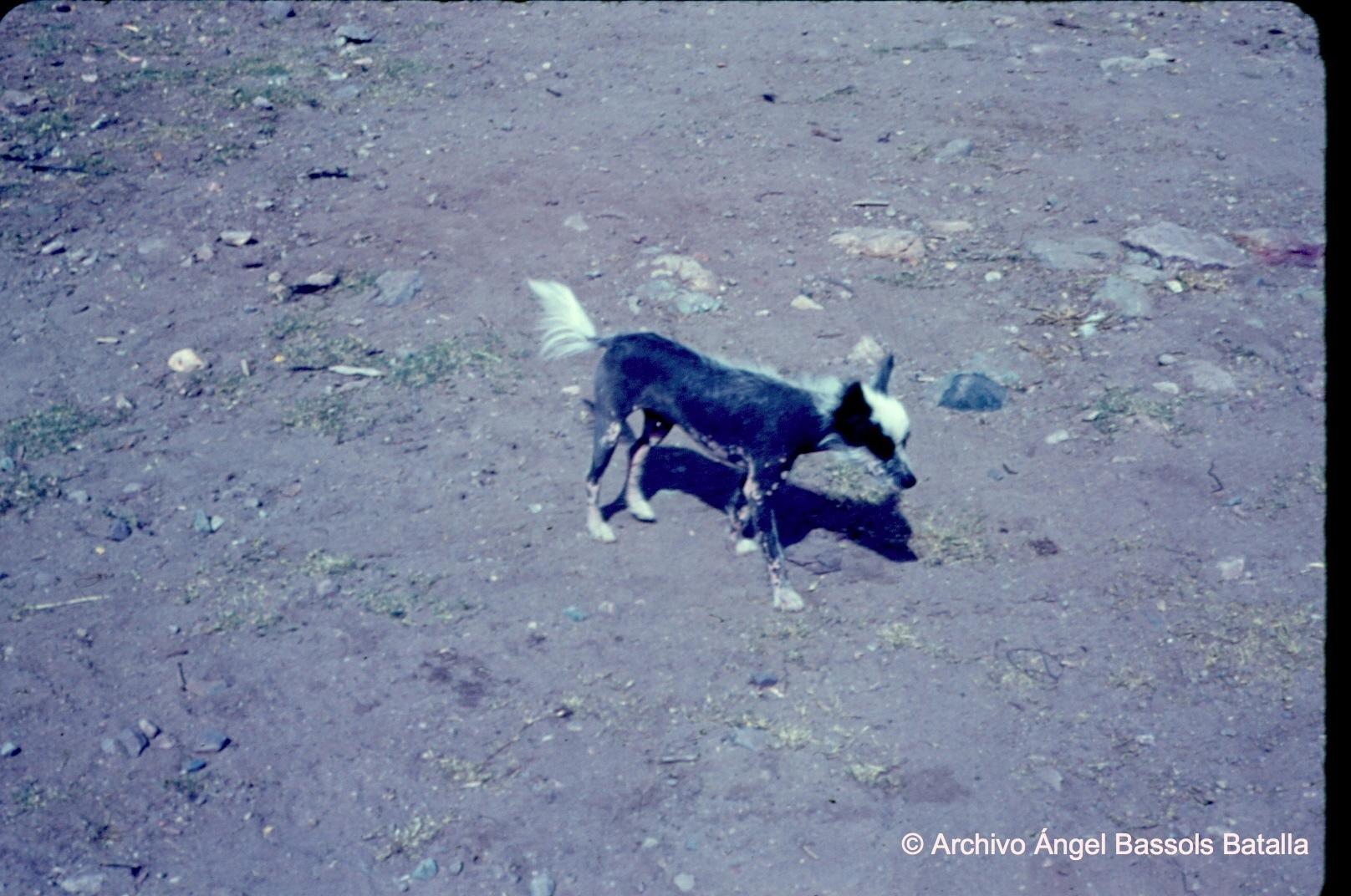 Perro mexicano pelón en Nacozari Viejo