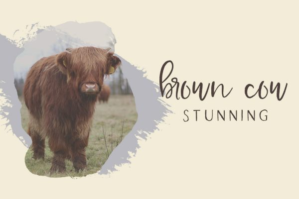brown cow Farmhouse Country
