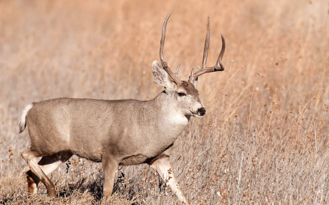 Round Valley Mule Deer