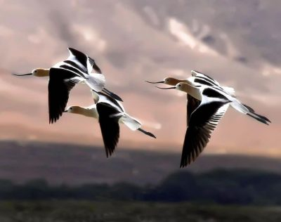 Sierra flying by Ed Nahin