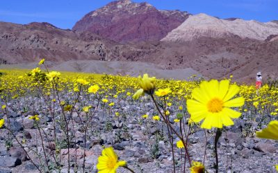 Death Valley Wildflower Phenomena Brought to you by El Niño