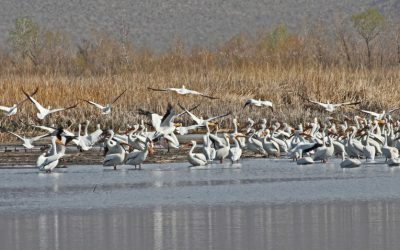 White Pelican Migration in the Eastern Sierra