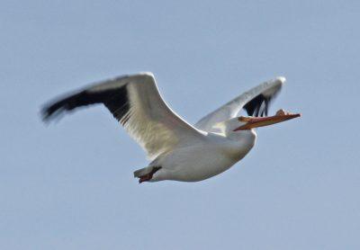 a white pelican in flight