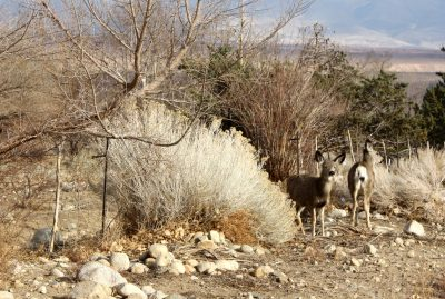 mule deer on the side of the road, grazing