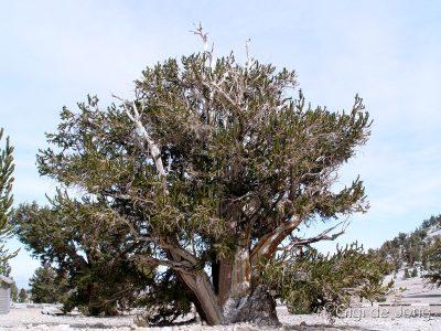Bristlecone Pine GdJ