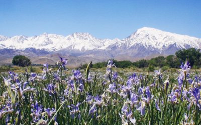 WILDFLOWERS OF THE EASTERN SIERRA