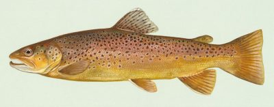 painting of a brown trout