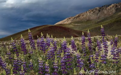 Wildflowers in the Eastern Sierra