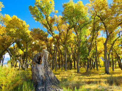 Large cottonwood grove near the Owens River.