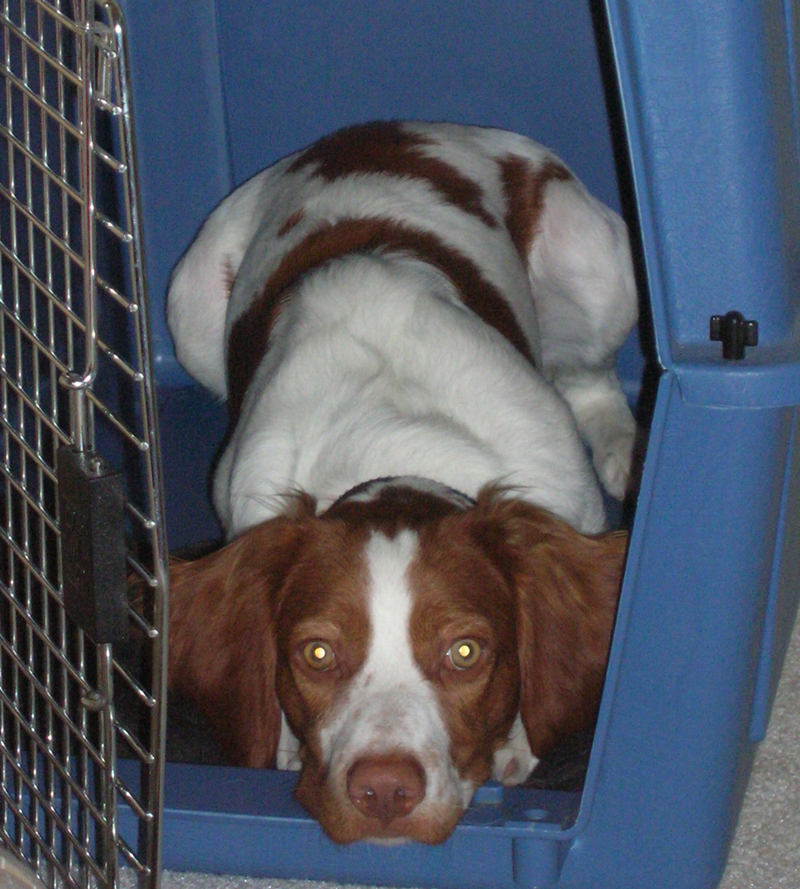 Brittany Spaniel Dog Picture