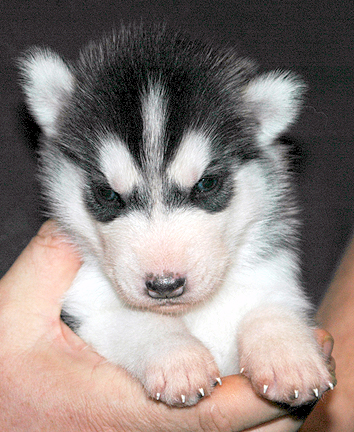 3 Week Old Siberian Husky Male