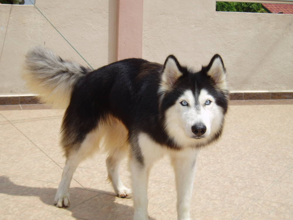 Bobby The Siberian Husky Picture