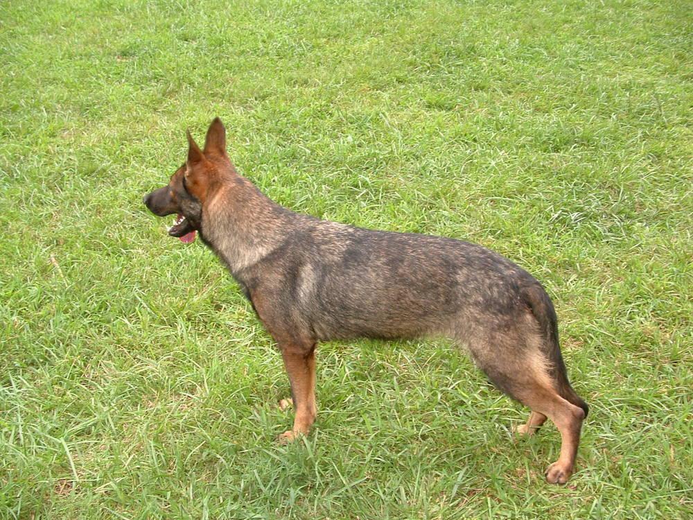My German Shepherd Dogs