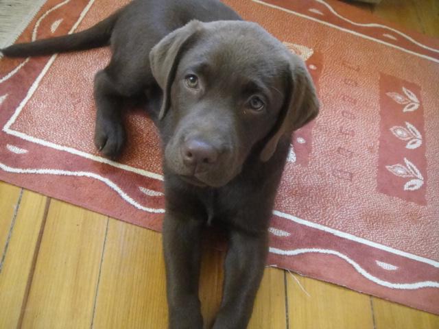 Theo, my labrador!