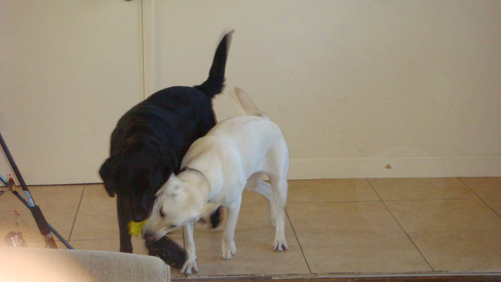 Dexter and Lucky love tug-of-war