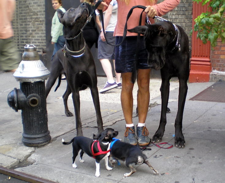 Chihuahuas Meeting Great Danes