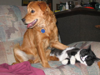 golden retriever playing with a cat